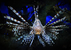 LIONFISH HEAD ON