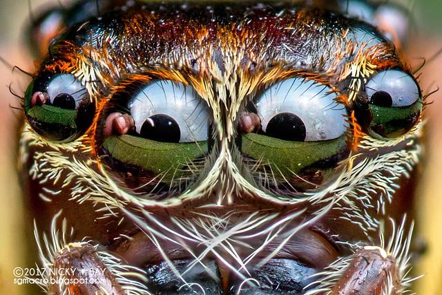 Jumping spider (Pancorius sp.) - DSC_3836x