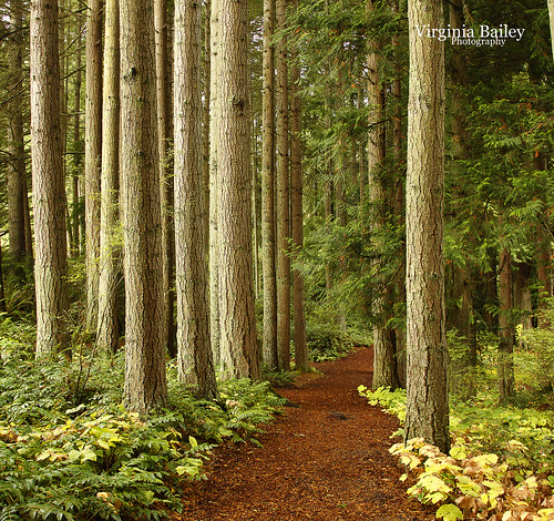 autumn trees canon washington woods october path wa bainbridgeisland bloedelreserve woodedpath canon50d virginiabaileyphotography