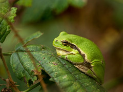 European Tree Frog (Hyla arborea), Province Limburg, Belgium