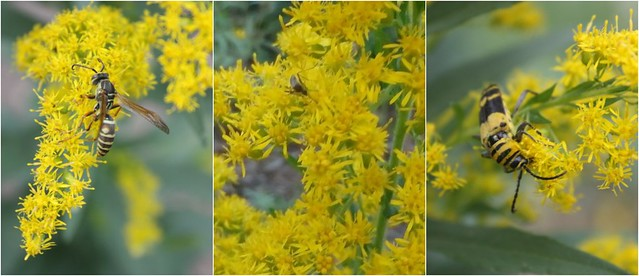 goldenrod with a bee, mosquito, and beetle