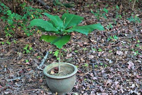 CrabAppleLane Big Leaf Magnolia - November 2, 2014