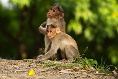 Rhesus macaque (Indian Bandar)