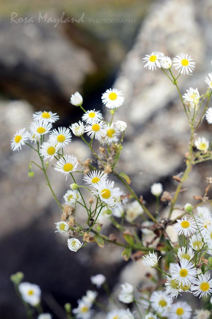 Hermance - Flowers