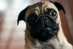 Bongo - Pug