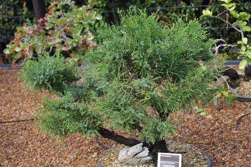 Cupressus macrocarpa bonsai