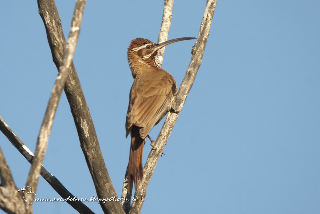 Chinchero grande (Scimitar-billed Woodcreeper) Drymornis bridgesii