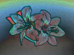 Pink Watsonia Flowers  - Arty version - Hilary thompson