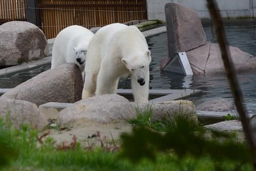 Eisbären Vicks und Sesi im Parc zoologique et botanique de Mulhouse