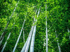 Gio Bamboo