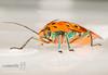 Cantao ocellatus - Shield Bug