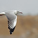 (N.Am Species # 553) Grey-Hooded Gull by tinyfishy (Gone to Argentina)