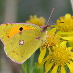 DSC_5610 Clouded Yellow