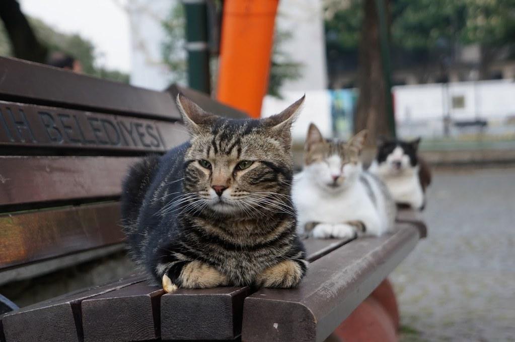 ears-like-Muslim-crescent-cat