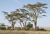 Acacia sp. Serengeti - Tanzania