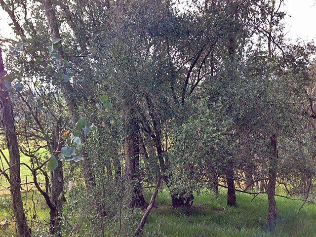 Olives Ref area  JPG