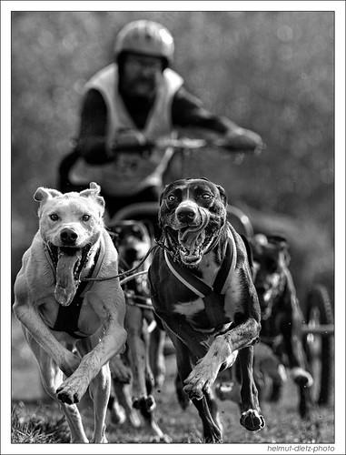 Die Schlittenhunde kommen nach Bielefeld - Senne zur Schlittenhunderennen DM 2014, Thomas Höhner