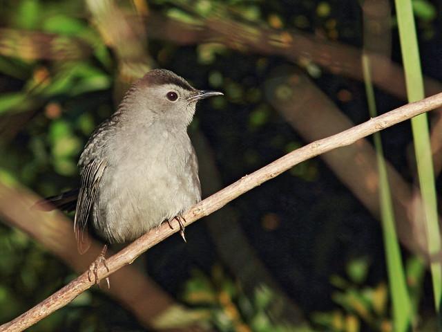 Gray Catbird 2-20141102