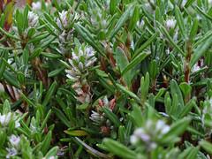 flower(0.0), grass(0.0), evergreen(1.0), shrub(1.0), rosemary(1.0), plant(1.0), flora(1.0),