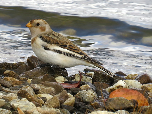 Snow Bunting, Budd Lake, Morris County 11-7-14