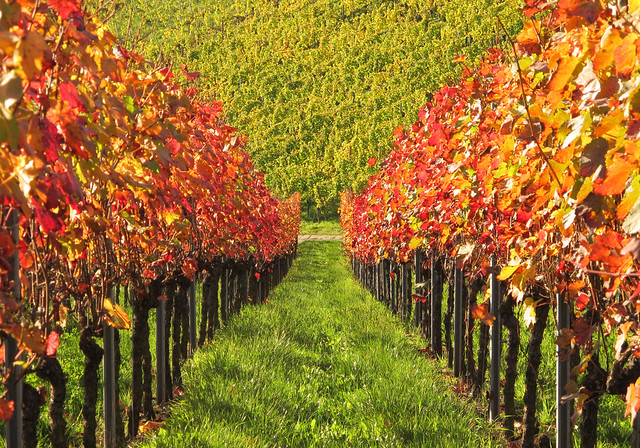 Autumn Vineyard Germany