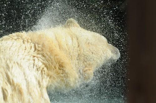Eisbär Katinka im Zoo de La Flèche