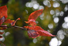 Red Leaves and Bokeh