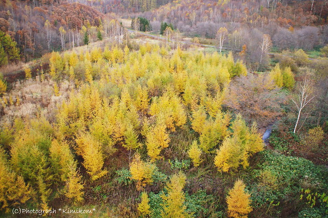 カラ松黄葉2