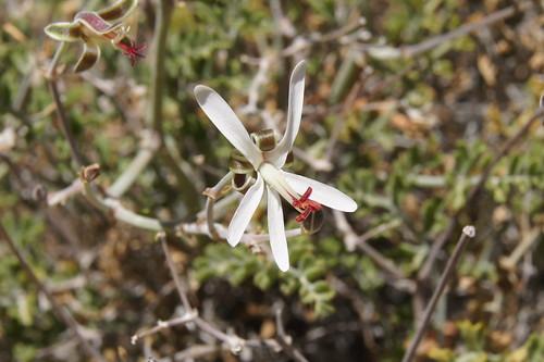 P. dasyphyllum, flower