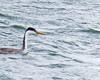 Clark's Grebe bill view-Hayden Island 10-25-14