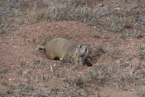 prairie dog (who ran in front of our car - twice!)