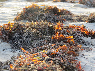 Image of Orient Bay near Arrondissement de Saint-Martin-Saint-Barthélemy. seaweed stmartin caribbean stmaarten 2014 orientbeach orientbay baieorientale