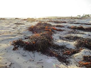 Image of Orient Bay near Arrondissement de Saint-Martin-Saint-Barthélemy. seaweed sunrise stmartin caribbean stmaarten 2014 orientbeach orientbay baieorientale