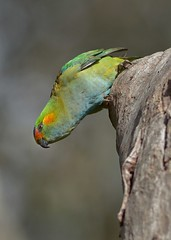 Purple-headed Lorikeet