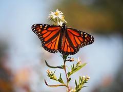 #monarch