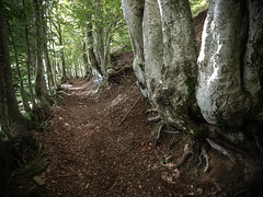 Path Lined Whit Old Beeches