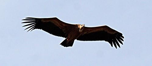 Griffon Vulture Gyps fulvus Cabranosa, Sagres, Portugal October 2014
