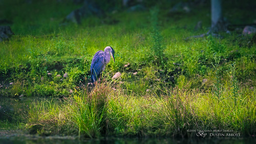 blue summer canada green bird texture grass animal fur quebec bokeh wildlife handheld lush fullframe greatblueheron parcomega wideopen montebello canoneos6d jessicadrossin canonef70300mmf456lis thousandwordimages dustinabbott dustinabbottnet adobelightroom5 adobephotoshopcc alienskinexposure6