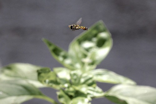 Flight of the Hover Fly