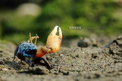 四角招潮蟹:台灣普遍認為他是最漂亮的招潮種類,美麗的藍彩相當具備有海洋的感覺。攝影:大型阿生。