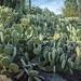 sea of prickliness,  Arizona 2014