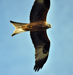 the beautiful red kite