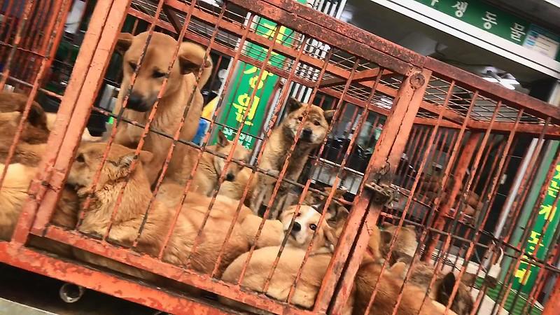 Live dogs at Moran Market, South Korea