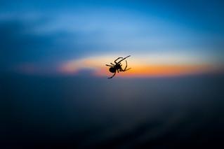 Araña al atardecer
