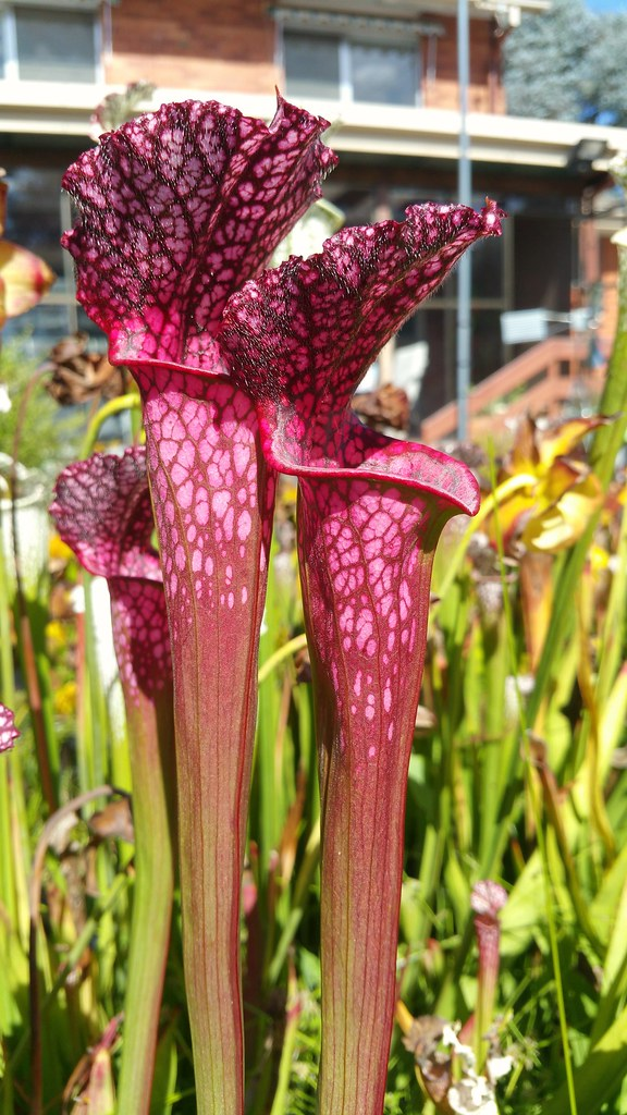 Sarracenia leucophylla autumn pitchers