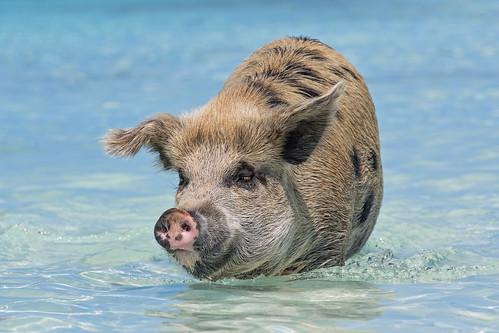 female sow big portrait walking face funny pig swimming exuma cay cute sea beach bahamas island vacation nikon d5