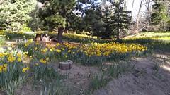 Daffodils [2 of 2] - Twin Peaks, California U.S.A.