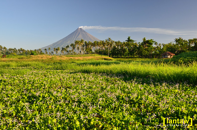 Mayon and morning lilies