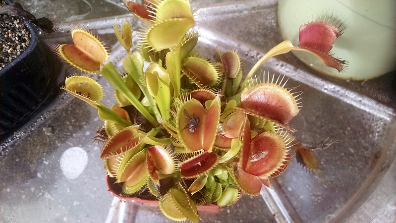 Venus fly-trap (Dionaea muscipula) looking fabulous.