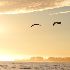 Couple of #pelicans on their evening commute home #santacruz